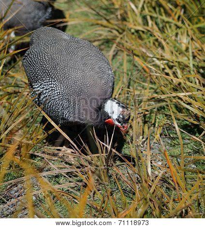 Close Up Of A Guineafowl Hen