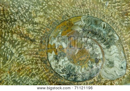 The Ammonite prehistoric fossil on the surface poster