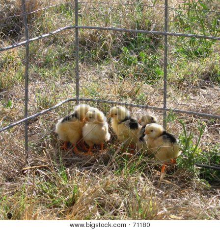 Newborn Chicks 2