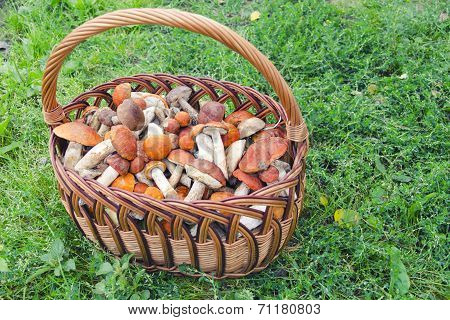 Orange-cap Boletus