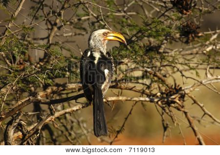 Southern Yellow-billed hornbill Tockus leucomelas  Game Reserve  Africa poster