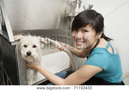 Portrait of young woman drying Terrier with hair dryer poster
