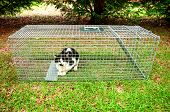 Cat trapped in a humane non lethal animal trap poster