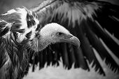 Black and white detail of white bald head, face and bill of griffon vulture with outspread wing. poster