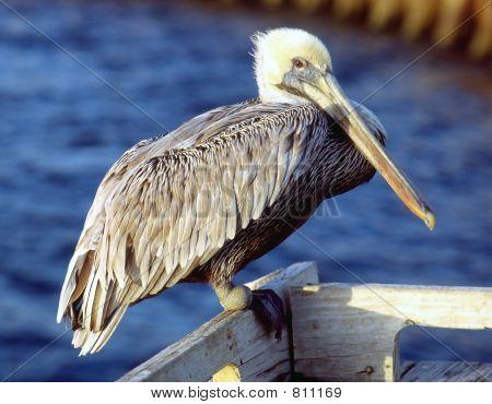 pelican at seaside