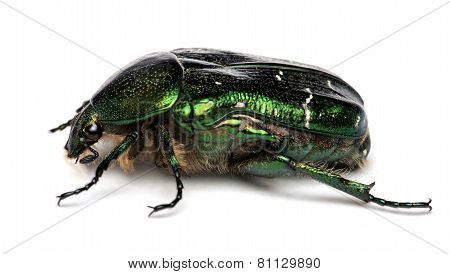 Rose chafer ,cetonia aurata isolated on a white background poster