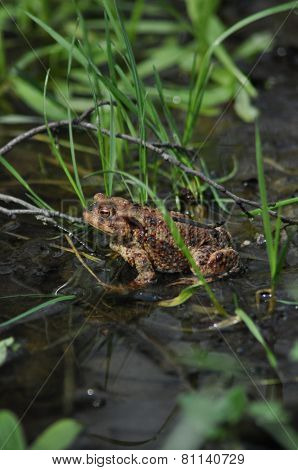 Toad, Frog In The Water. Amphibian.