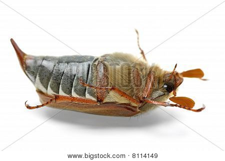 Dead cockchafer (Melontha vulgaris) isolated on the white background poster