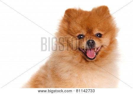 Pomeranian dog isolated on white background