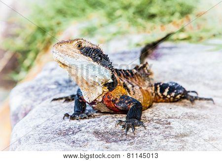 Eastern water dragon lizard on Manly beach in Sydney, Australia.