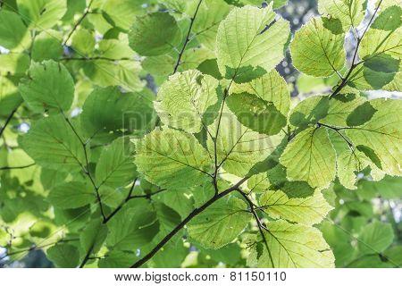 Green Leaves Background Of Corylus Avellana