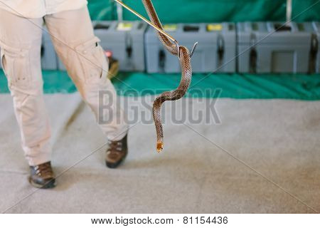 Eastern Brown Snake At Snake Show