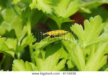 Rüsselkäfer (Curculionidae) lixinae