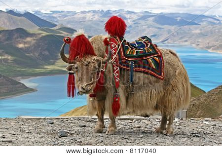 Rare white yak