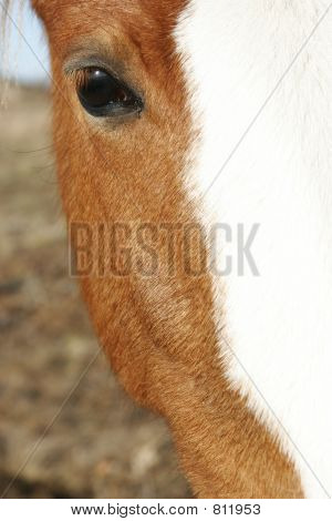 close up of brown horse head poster
