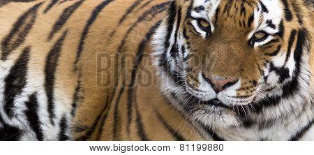 close up tiger banner