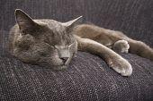 sleepy gray cat on a gray sofa poster