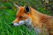 Red fox watching for movement in the grass. poster