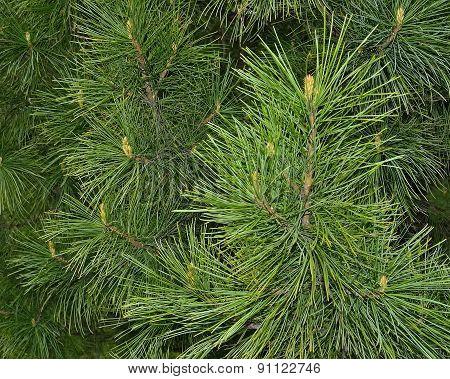 Sprigs Of Cedar