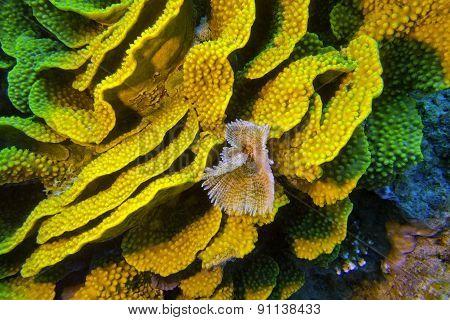 Yellow Turbinaria Mesenterina Coral  And Fan Worm, Underwater