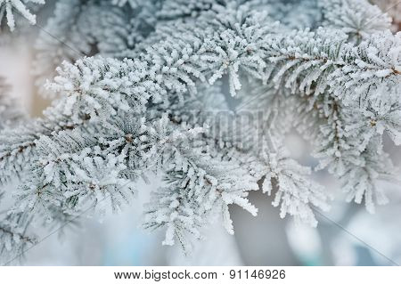 Photo Of Frozen Fir Tree Background, Branches Of Evergreen Tree Covered Rime, Twigs Of Spruce Covere
