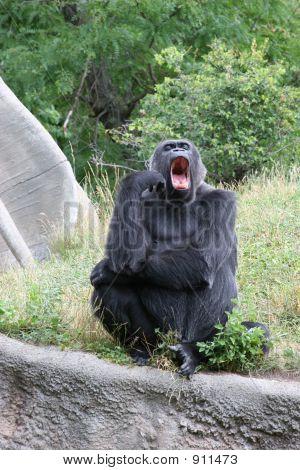 Gorilla Yawning