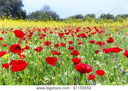 Field of red poppy flowers with rapeseed plants
