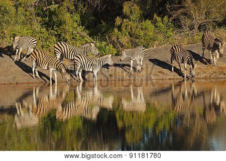 Plains Zebras (Equus burchelli) drinking water, Sabie-Sand nature reserve, South Africa