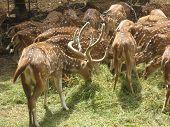 The Barasingha or Barasinga (Swamp Deer or Rucervus duvaucelii) is a species of deer, native to India and Nepal. A herd of swamp deer is grazing in Deer Park of Jaipur, Rajasthan. poster