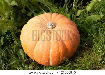 One Large Yellow Pumpkin