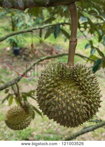 Fresh Durian In The Orchard.