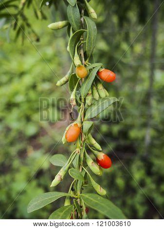 Goji berry  fresh branch, goji plant fruit