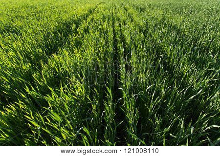 Rows in the green wheat field on sunset