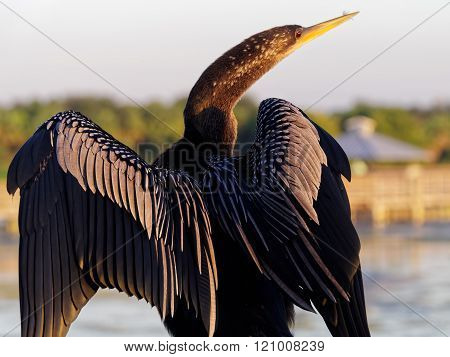 Anhinga Back to Camera Head in Profile Open Wings