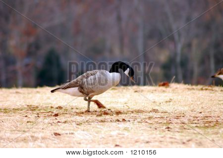 Feeding Duck