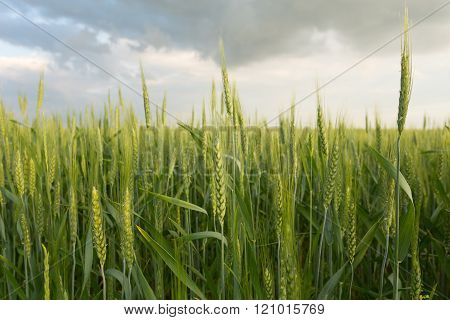 Green wheat under dramatic sky