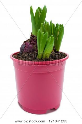 Hyacinth sprouts in a pot isolated with clipping path