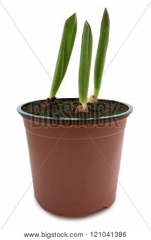 Tulips sprouts in a pot isolated with clipping path
