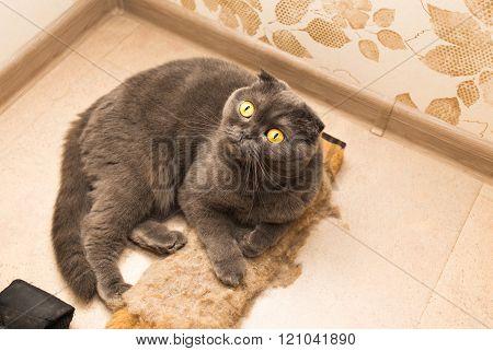 scottish fold cat lays on the wooden floor