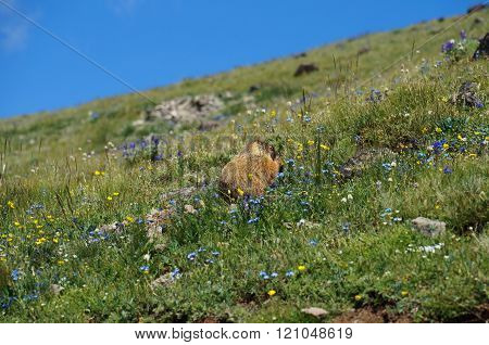 Marmot nibbling on food in-between blue, yellow and white mountain flowers.