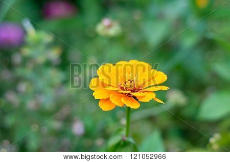 Zinnia flower or Zinnia violacea in the garden nature and park vintage