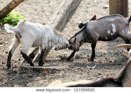 Cute Young Goats Playing On Animal Farm