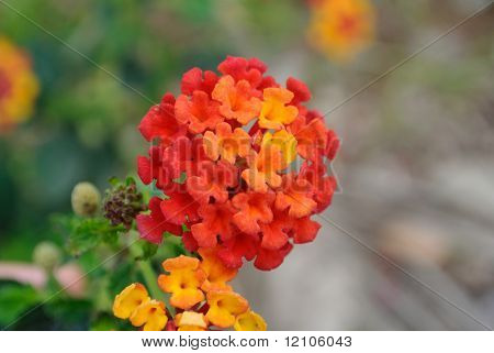 Red and yellow flower (lantana camara) with Spanish flag colors poster