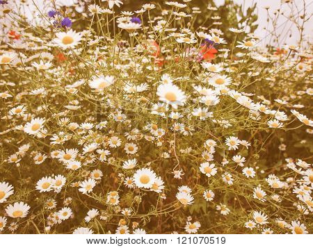 Retro Looking Camomile Flower