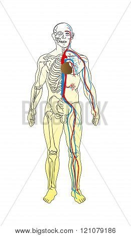 The Man Anatomy - Skeleton And Vascular System