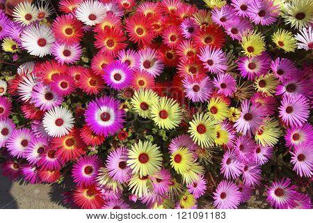 Floral Background Mesembryanthemums