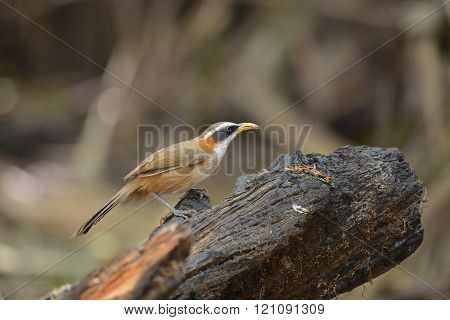 White-browed Scimitar-Babbler , Beautiful Bird and warm poster