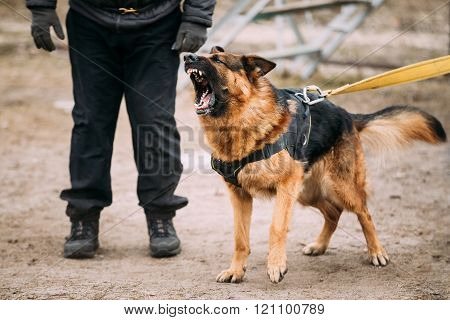 German Shepherd Dog training. Biting dog.