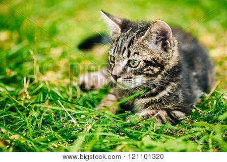 Playful Cute Funny Gray Cat Kitten Play In Grass