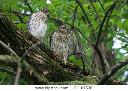 Two Young Hawks